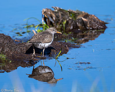 Spotted Sandpiper and Reflection