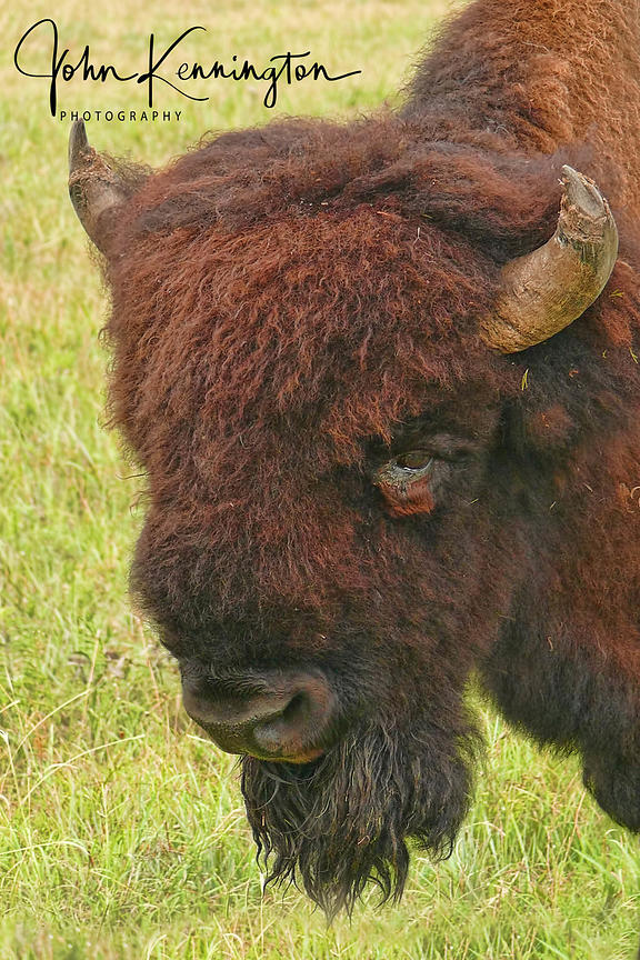 Wichita Mountains Bison, Wichita Mountains National Wildlife Refuge, Oklahoma