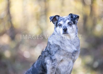 Senior Cattle Dog Outdoor Close Up