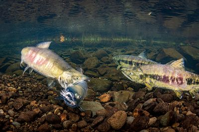 Chum salmon spawning sequence 1-04