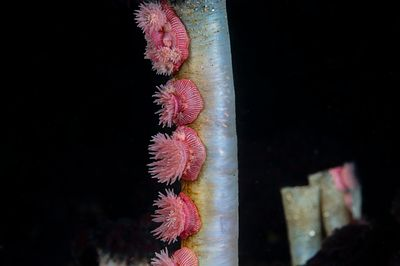 Cluster of Proliferating Anemone, Epiactis prolifera, on the stalk of a Feather Duster worm.