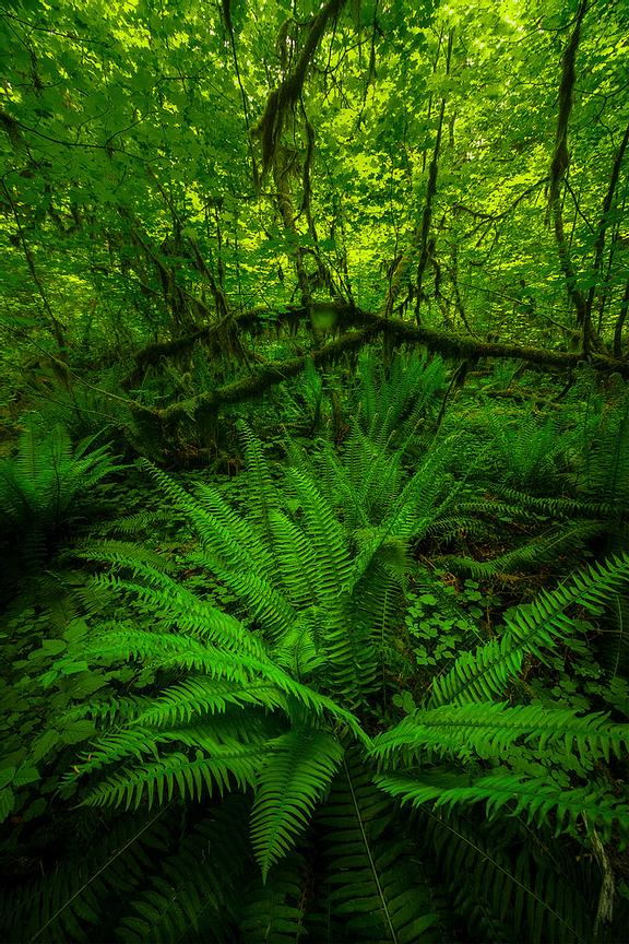 Inside_The_Hoh_Rainforest_In_Spring_web