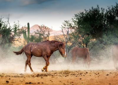 Wild Horse Running in Arizona Desert