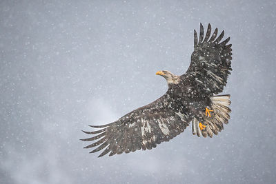 Juvenile Eagle in Snow