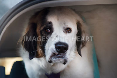 Saint Bernard in car looking worried