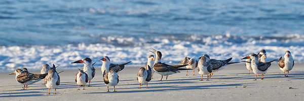 Flock of Black Skimmers on Beach
