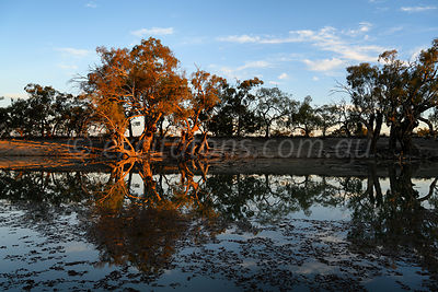 Bathed in golden light on the banks of the Great Anabranch of the Darling River, a group of old River Red Gums are reflected ...