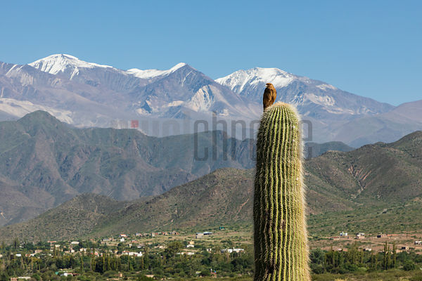 A Chimango Caracara (Milvago chimango) on a Cardon Cactus with Cachi Mountain in the Background