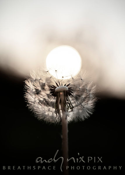 Wall Art Decor Photo Print: Sunrise Dandelion II