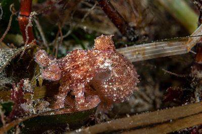 Tiny Ruby Octopus, Octopus rubescens, foraging in Eel Grass bed.