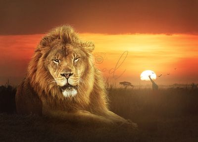 Lion King of The African Jungle