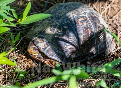 Box_Turtle_Date_(Month_DD_YYYY)1_1000_sec_at_f_7.1_NAT_WHITE