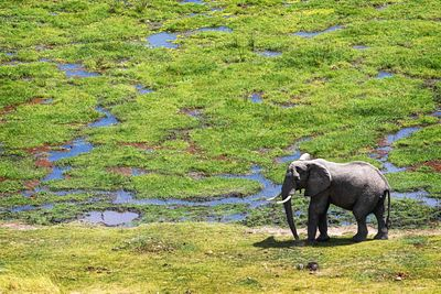 Elephant in Swamps of Amboseli Africa