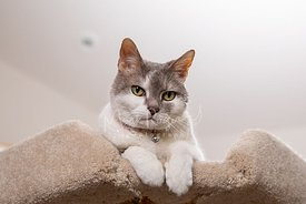 White and Grey Cat Looks Down from Cat Tree with Paws over edge