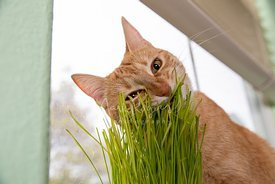 Close-up of Orange Tabby Cat Biting Cat Grass Eyes Half Closed