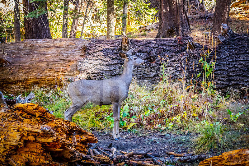 A Mule Deer in Yosemite National Park, California