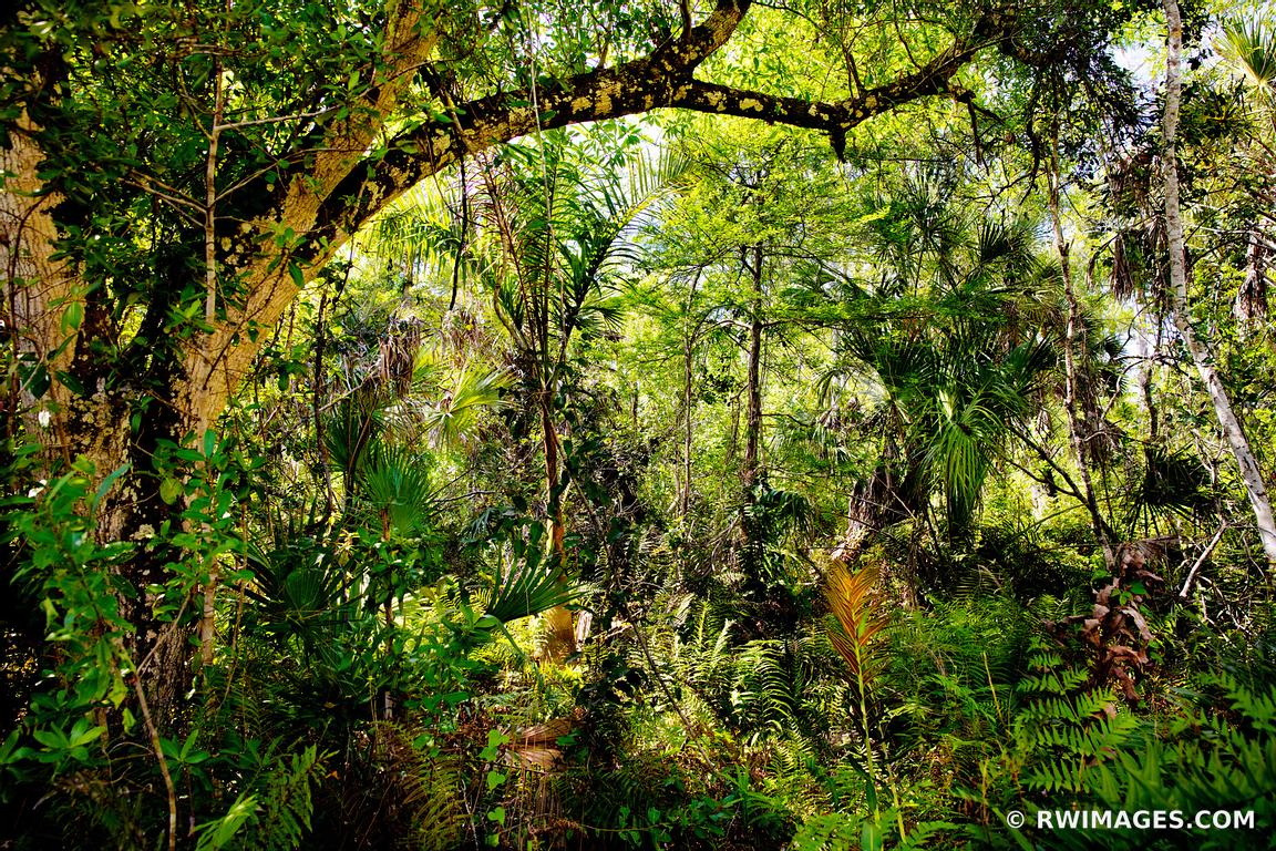 SUB TROPICAL FOREST BIG CYPRESS BEND FAKAHATCHEE STRAND PRESERVE STATE PARK EVERGLADES FLORIDA