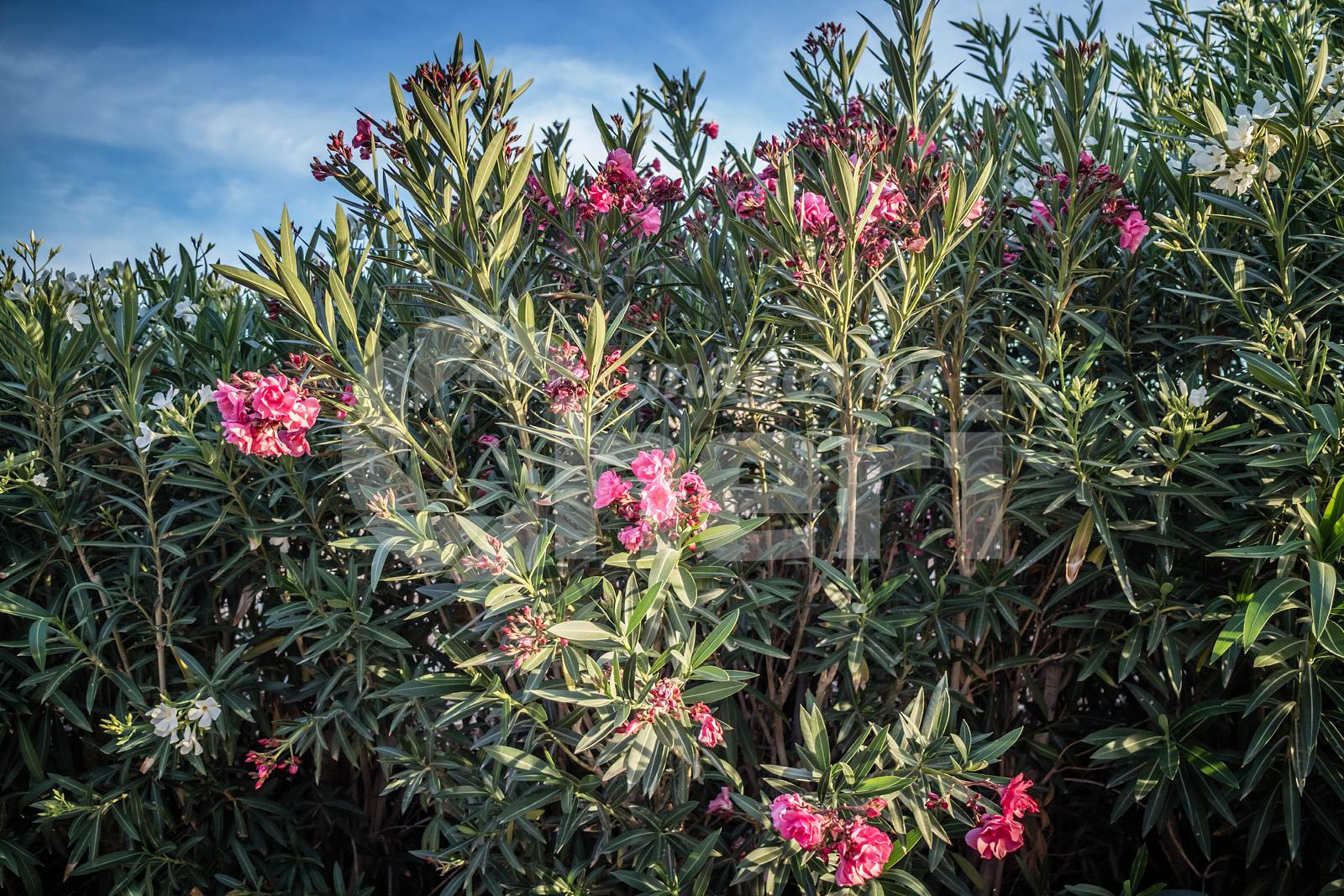 A Nerium Oleander tree in Yuma, Arizona
