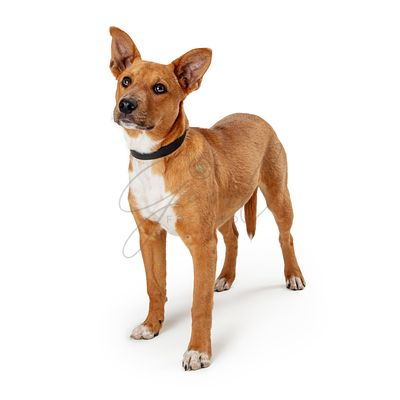 Cute listening pet dog mixed breed head up isolated