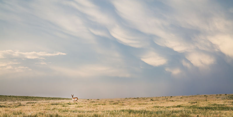 Pronghorn and Storm Clouds
