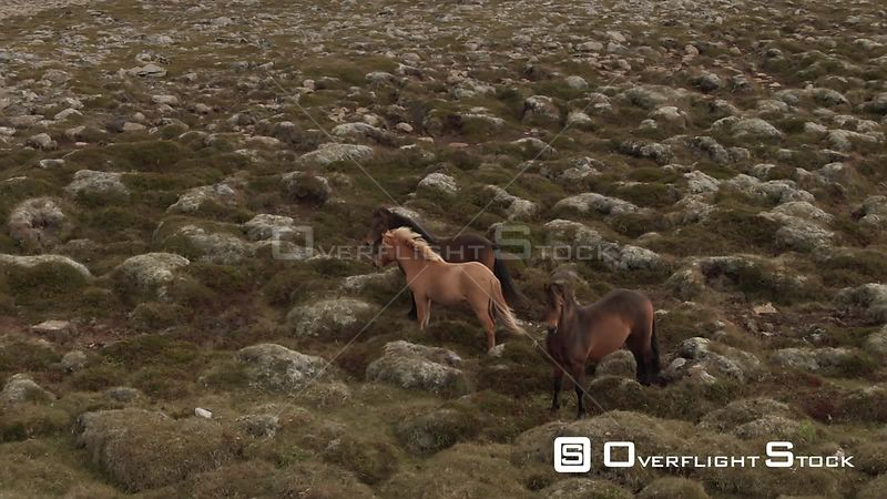 Horses in North Iceland