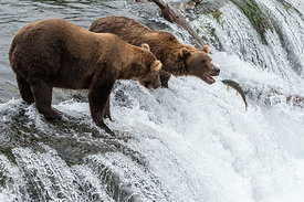 Brown Bears on Brooks Falls catching Salmon swimming upstream, Alaska, USA