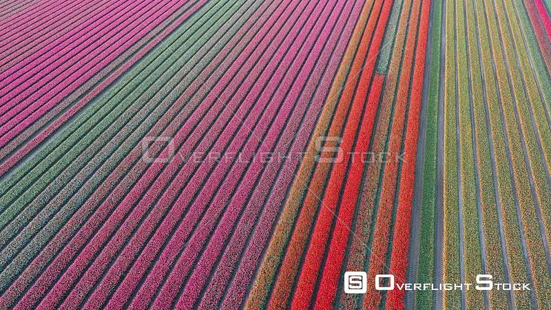 Blossoming Tulip Fields Netherlands Drone Video