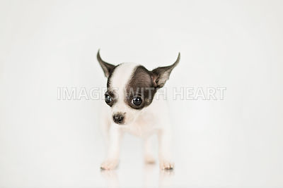 Black and White Tiny Chihuahua Puppy