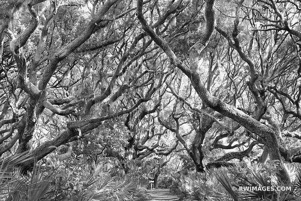 LIVE OAK TREES PALMETTOS COASTAL FOREST CUMBERLAND ISLAND GEORGIA BLACK AND WHITE