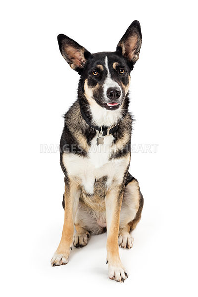 Attentive listening mixed shepherd dog sitting isolated