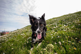 Border Collie Lying Downhill in Grass with Ball