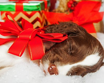 Puppy With Red Bow Sleeping By Gifts