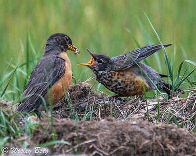 Robin Feeding its Young