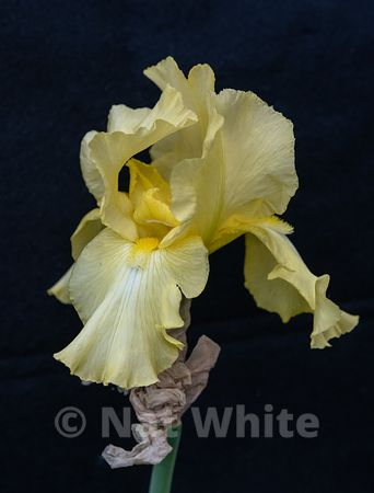 Iris_bloom-Yellow_Date_(Month_DD_YYYY)1_1250_sec_at_f_5.6_
