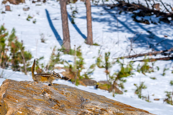 A brown Eastern chipmunk in Custer State Park, South Dakota