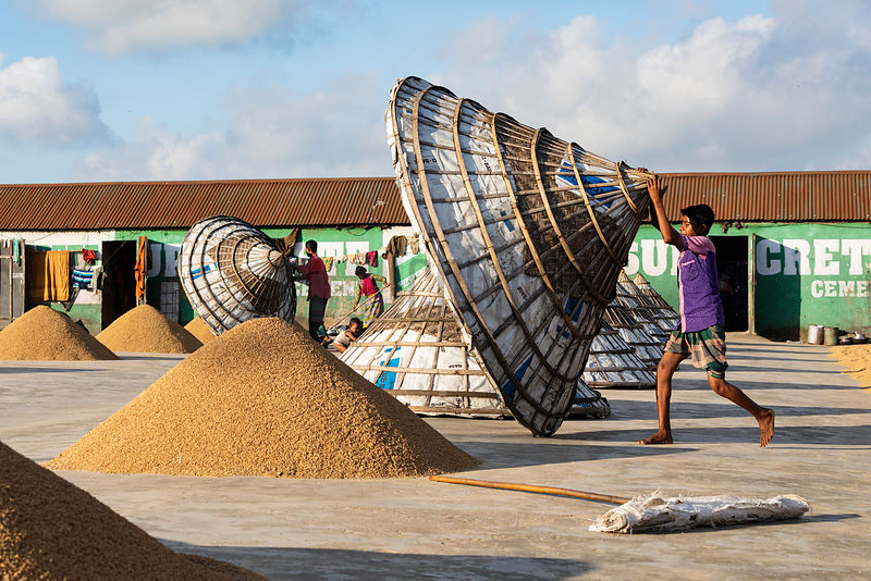 Workers Covering Drying Rice for Nightime Storage