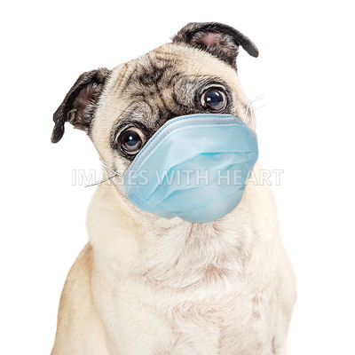 Pug Dog Wearing Protective Surgical Face Mask