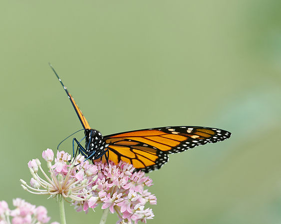 Monarch-Butterfly-2557969-Full