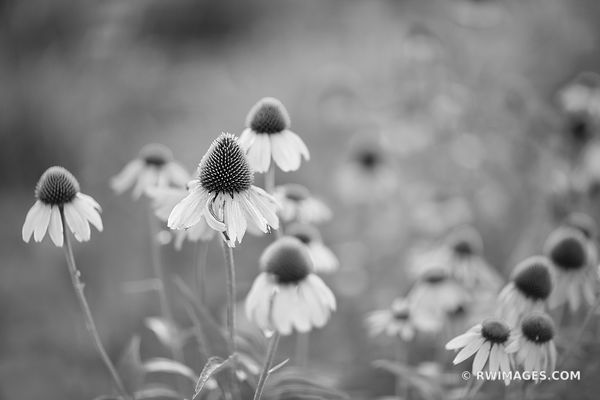 CONEFLOWERS PRAIRIE BOTANICALS BLACK AND WHITE