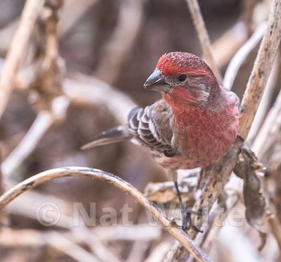 House_Finch-3600_January_08_2021_NAT_WHITE