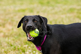 Close Up of Black Labrador Dog with Tennis Ball in Mouth