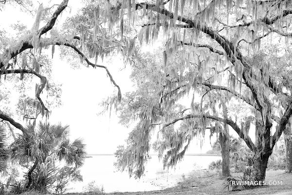 LIVE OAK TREE SPANISH MOSS PLUM ORCHARD CUMBERLAND SOUND CUMBERLAND ISLAND GEORGIA BLACK AND WHITE