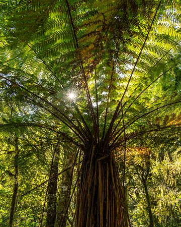 Looking up through foliage of Ponga Tree Fern