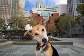 Curious Tri-Color Mixed Breed Dog in front of SFMOMA