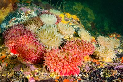 Painted Anemone in tidal swept inlet on the coast of British Columbia.
