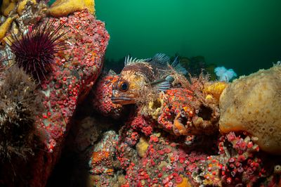 Quillback Rockfish, Sebastes maliger, perched on reef of encrusting sponge and Strawberry Anemone in Discovery Passage.