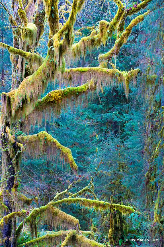 MOSS COVERED TREES SPRUCE NATURE TRAIL HOH RAINFOREST OLYMPIC NATIONAL PARK VERTICAL