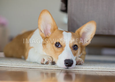 corgi laying on floor indoors