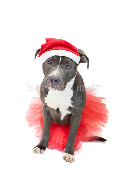 Pitbull wearing santa hat and tutu