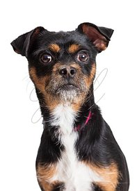 Closeup portrait tricolor pet terrier big eyes isolated